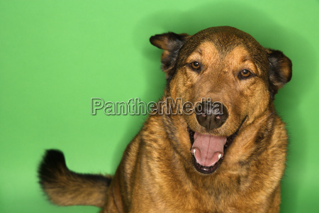 mixed breed brown dog portrait
