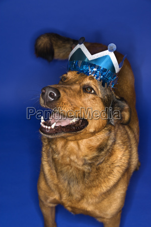 mixed breed dog wearing crown