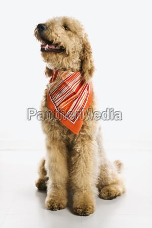 goldendoodle dog wearing bandana