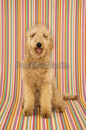 goldendoodle dog on striped background