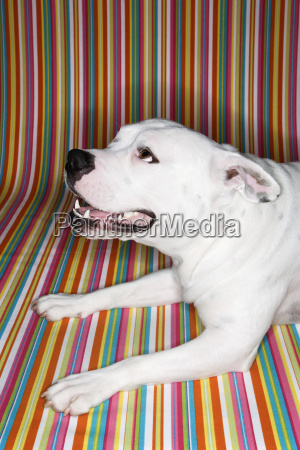white dog against striped background