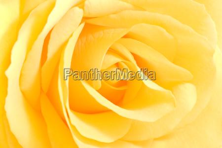 kwiat kwiatek zawod roslina roza kwiaty