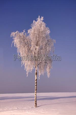 drzewo zima zimowy mroz brzoza firmament