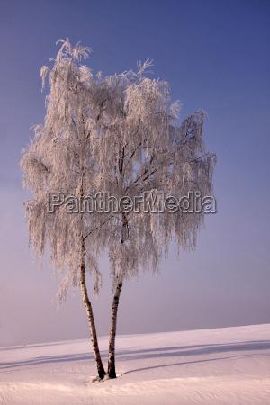 drzewo drzewa zima zimowy brzoza mroz