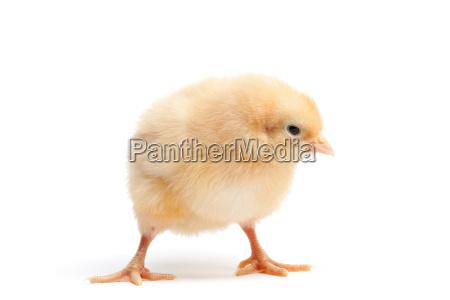 zwierze ptak male zwierzeta baby kurcze