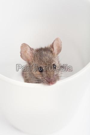 filizanka zwierze nager gryzon mysz prowokacyjny