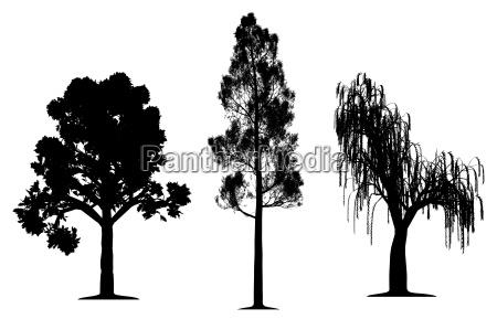 dab las sosnowy i wierzba placzaca