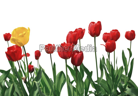 kwiaty tulipan