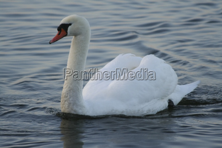 labedz dziob wodnych ptak wodny suesswasser