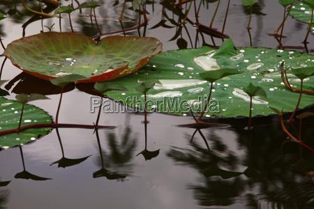 lisc lotos suesswasser jezioro inland aqua