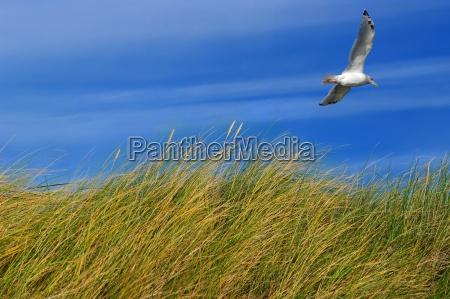 north sea wydma trawa z mewa