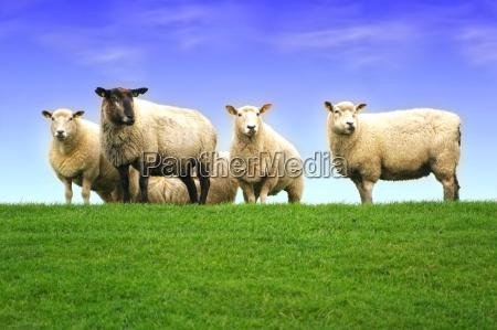 owce na grobli morza polnocnego