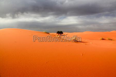 pustynia afryka palmy wydma maroko sahara