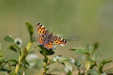 latanie latac owad motyl biedronka