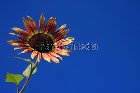 niebieski kwiat kwiatek slonecznik slonecznik zawod
