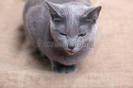 niebieski zwierze zwierze domowe portret potrait