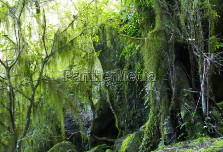 hanging lichen and moss