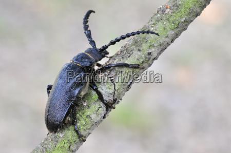 zwierze owad koziol zlotowki zlotowki powiedziec