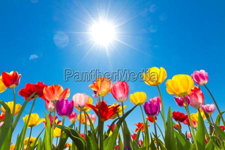 tulipany w sloncu