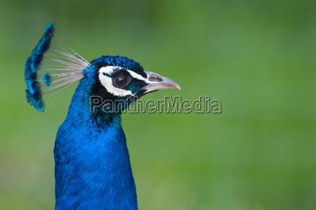niebieski ptak ptaki paw prozno migotac
