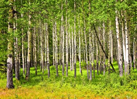 aspen drzew w parku narodowym banff
