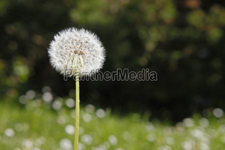 kwiat kwiatek zawod roslina blowball plemnik