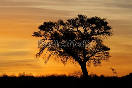 afrykanski zachod slonca z drzewem sylwetki