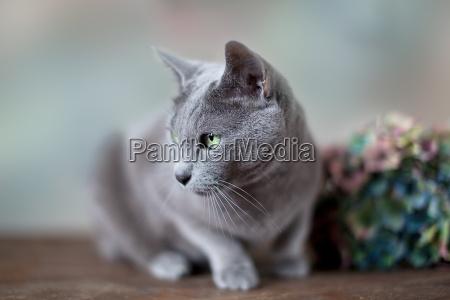 portret rosyjskiego niebieskiego kota