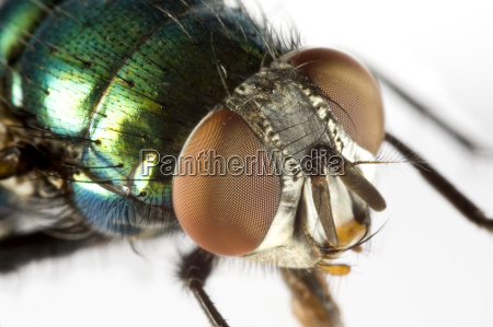 zwierze owad mucha hamulec degustator glowa