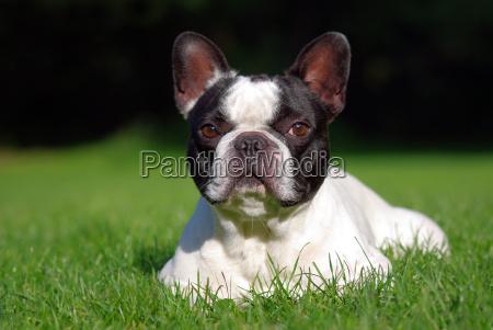 przyroda srodowisko zwierzeta zwierzatka psy buldogi