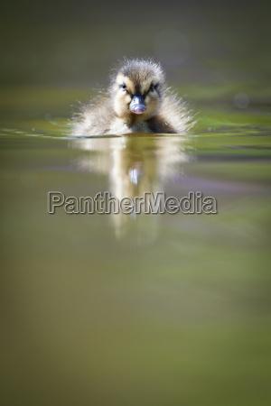 cute little kaczatko plywanie w wodzie