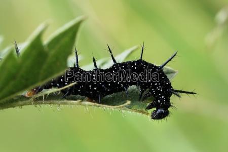 owad zielony motyl czern dark skin