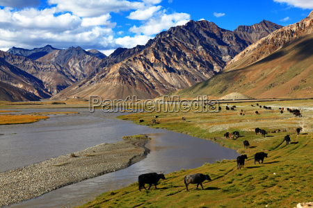 indie skorka stado gora himalaje yak
