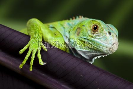iguana jako smok