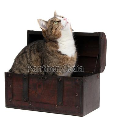 ciekawi kot w skrzyni skarbow