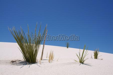 roslina na wydmach w bialym piasku