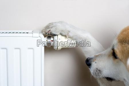 pies regulacji temperatury komfortu na kaloryferze