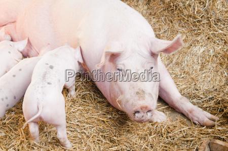 narodziny porod urodzenia farma gospodarstw ferma