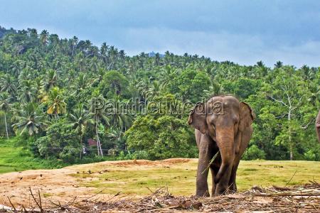 elephant at the pinnawela elephant