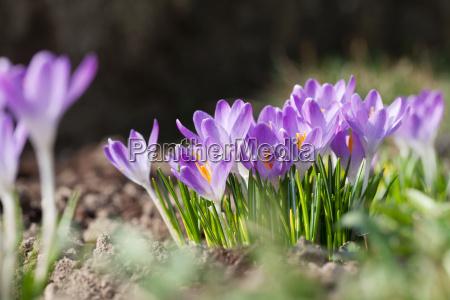 fioletowe kroje