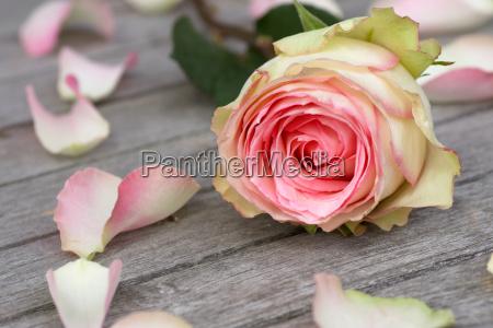 roza z platkami roz