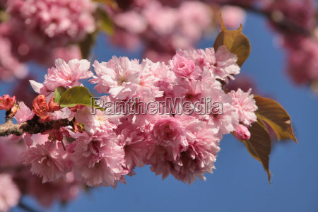 niebieski drzewo kwiat platki wiosna krynica