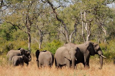 slonie afrykanskie