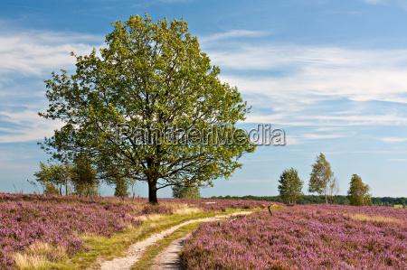 lueneburg heath sciezka przez kwitnienia wrzosu
