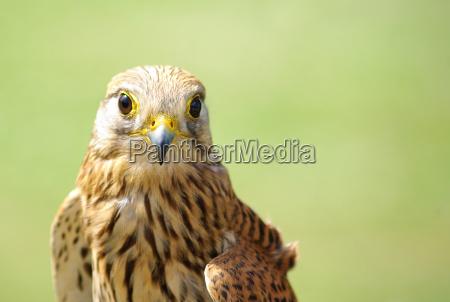 przyroda srodowisko ptak ptaki sokol pustulka