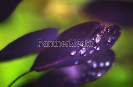 krople rosy po deszczu na purpurowy