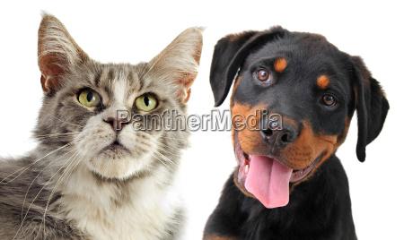 maine coon kot i szczeniak rottweiler