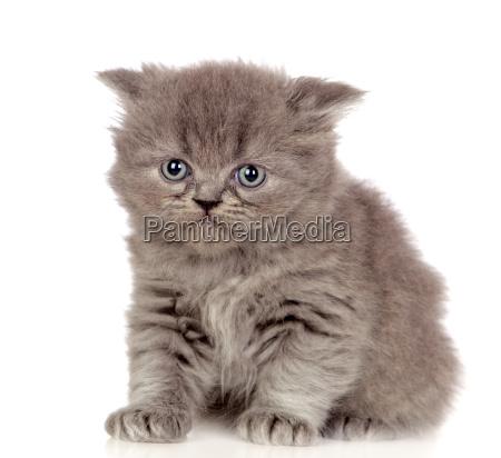 piekny angora kitten z szarymi i