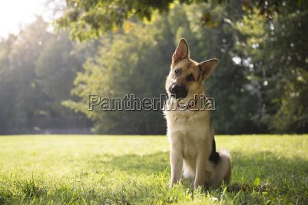 mlody purebreed alzackiej pies w park