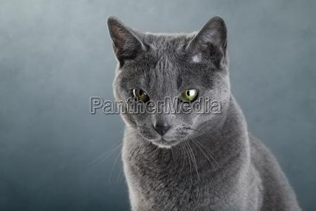 rosyjski niebieski kot
